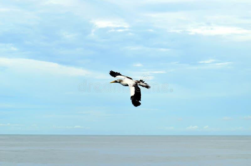 Vol de l'oiseau marin au-dessus de l'oc?an calme images libres de droits