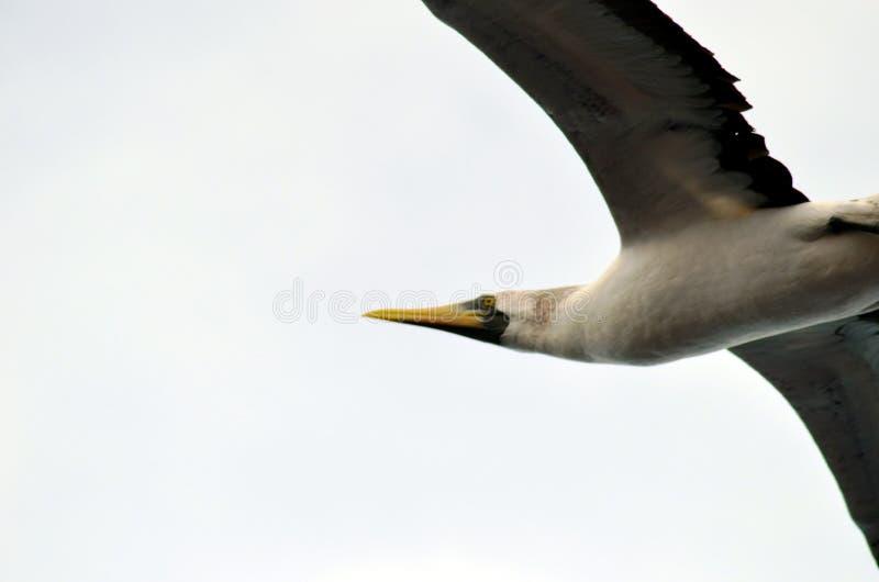 Vol de l'oiseau marin au-dessus de l'oc?an calme photographie stock libre de droits