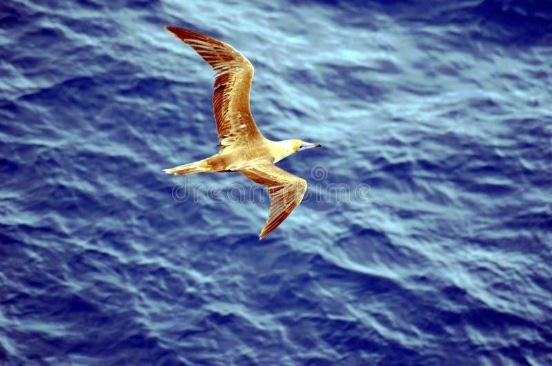 Vol de l'oiseau marin au-dessus de l'oc?an calme images stock