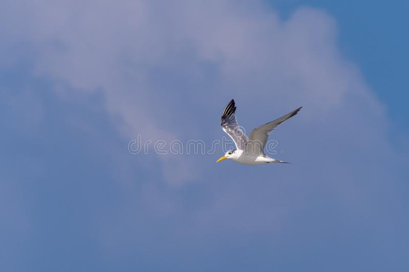 Vol de Lesser Crested Tern par le ciel bleu photos libres de droits
