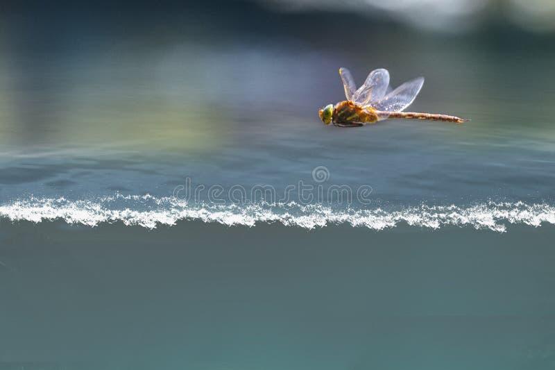 Vol de libellule au-dessus de l'eau photographie stock