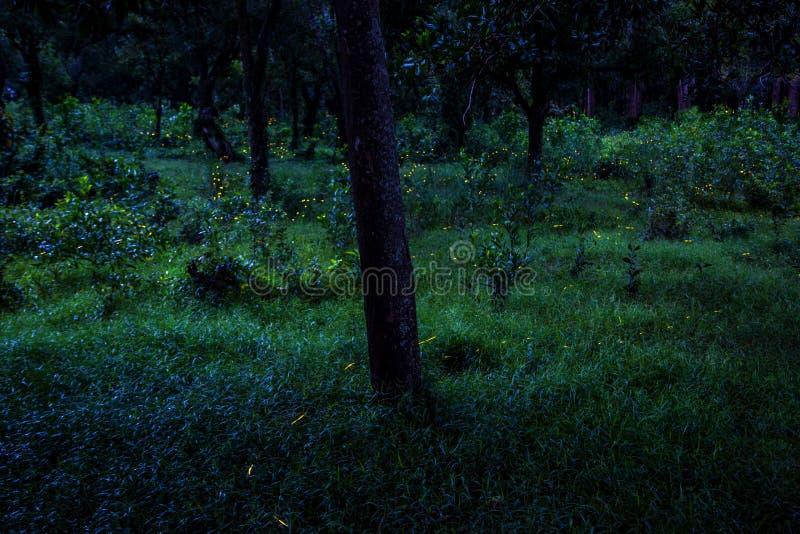 Vol de luciole dans la forêt la nuit dans Prachinburi Thaïlande Longue technique d'exposition photographie stock