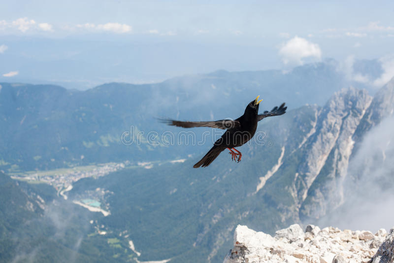 Vol de merle photo libre de droits