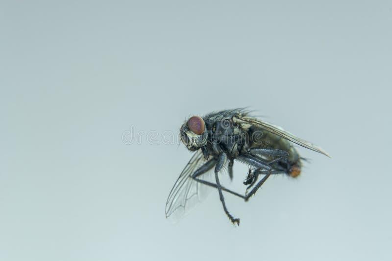 Vol de mouche noire dans la maison image libre de droits