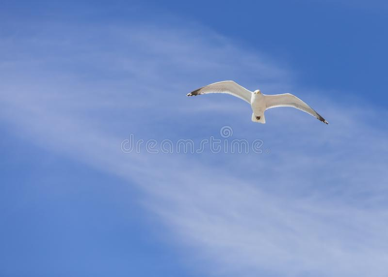 Vol de mouette photo stock