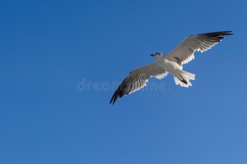 Vol de mouette photo libre de droits