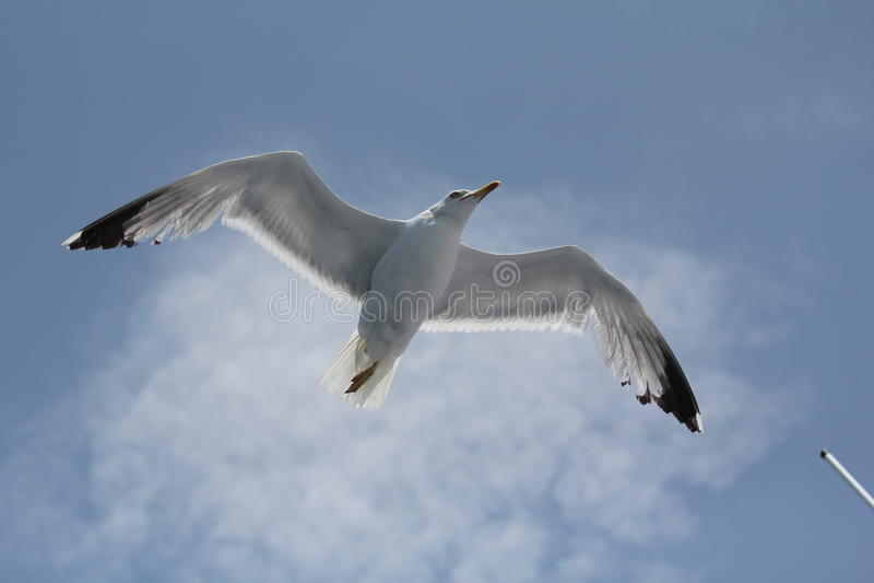 Vol de mouette, 2 photos libres de droits