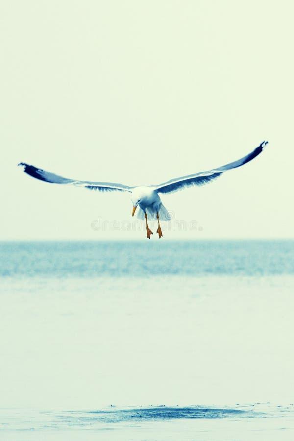 Vol de mouette au-dessus d'océan photographie stock