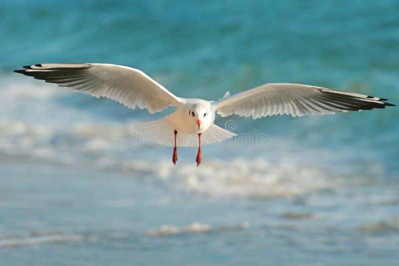 Vol de mouette au-dessus de la mer photo libre de droits