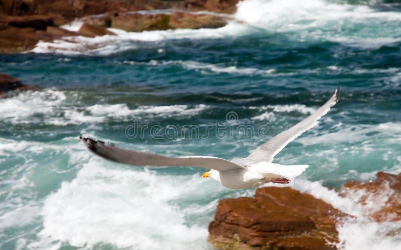 Vol de mouette au-dessus de vague déferlante photographie stock libre de droits