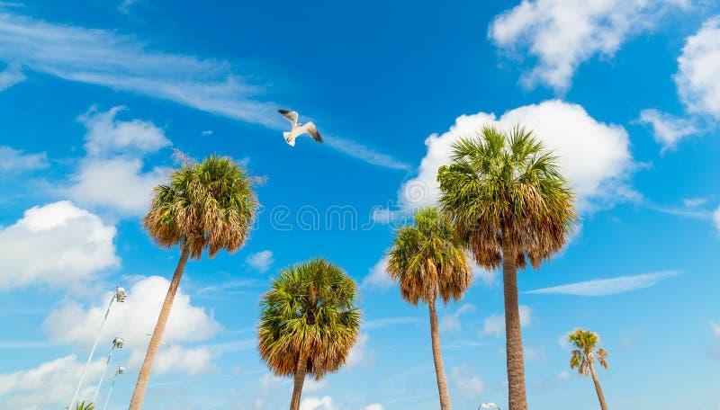 Vol de mouette au-dessus des palmiers en plage de Clearwater image libre de droits