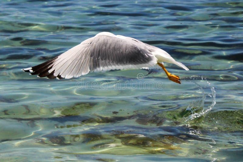 Vol de mouette au-dessus de la mer photos libres de droits