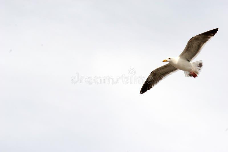 Vol de mouette avec l'espace de copie image stock