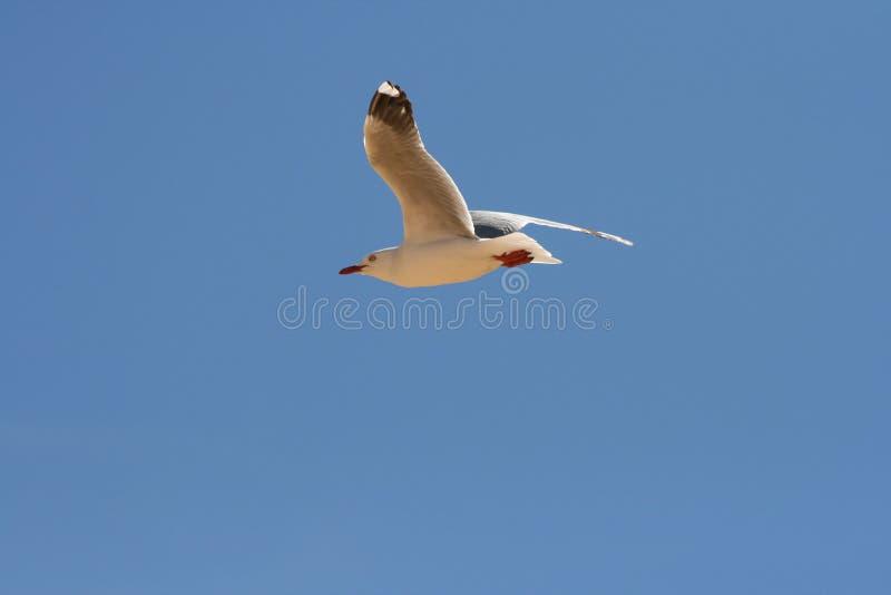 Vol de mouette avec le ciel bleu propre photo libre de droits