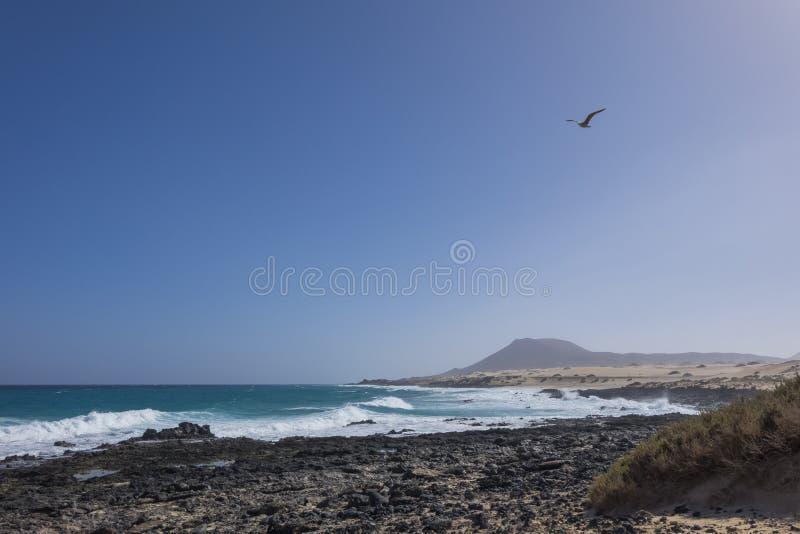 Vol de mouette avec le contexte flou de montagne sur la plage F de Corralejo images libres de droits