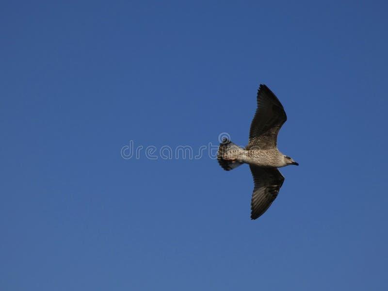 Vol de mouette avec le fond de ciel bleu photos stock