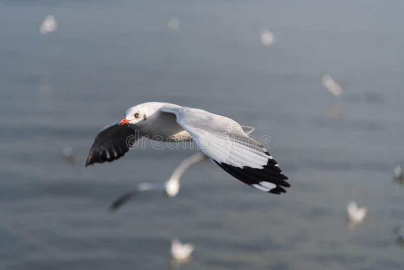 Vol de mouette avec le fond de tache floue image libre de droits