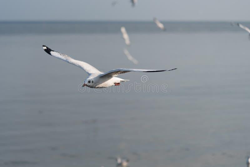 Vol de mouette avec le fond de tache floue de mer photo stock