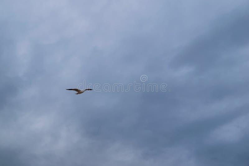 Vol de mouette contre le ciel nuageux dramatique bleu photographie stock
