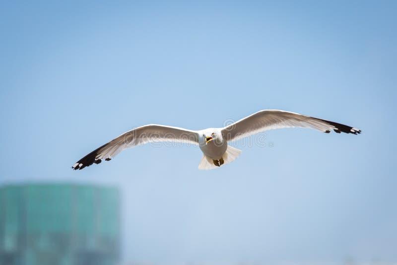 Vol de mouette d'été dans le ciel au jour photographie stock
