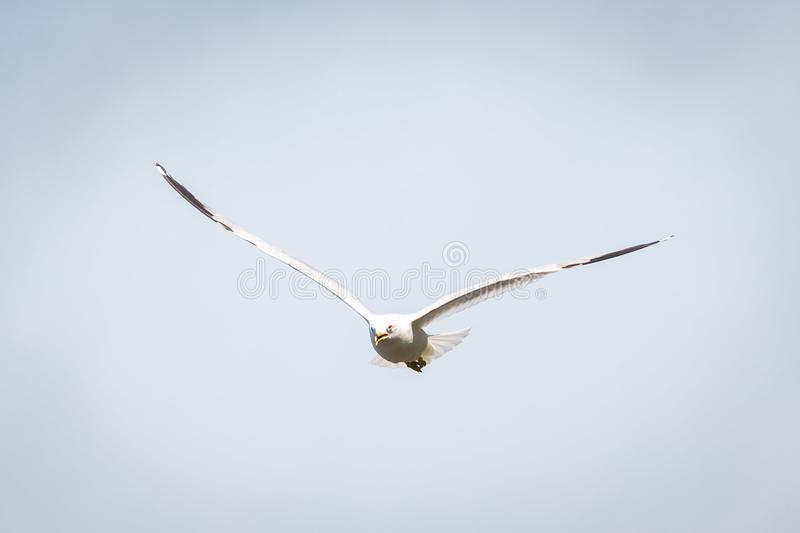 Vol de mouette d'été dans le ciel au jour photographie stock libre de droits