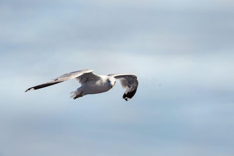 Vol de mouette dans le ciel photo stock