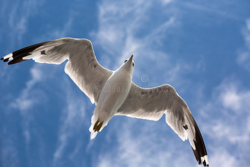Vol de mouette dans le ciel photos libres de droits