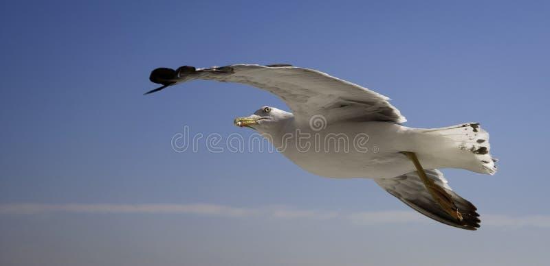 Vol de mouette dans un ciel bleu avec les nuages blancs, recherchant. photographie stock libre de droits