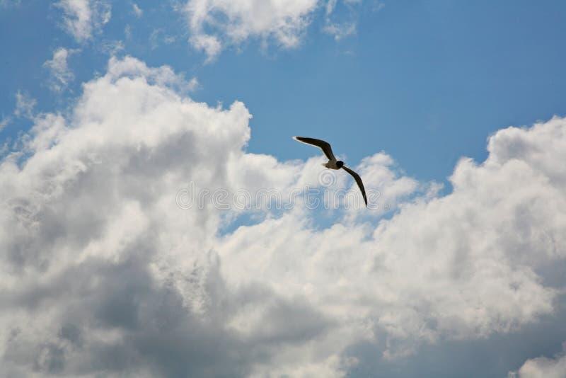 Vol de mouette en ciel nuageux bleu photo stock