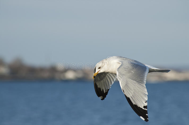 Vol de mouette le long d'un littoral brouillé images libres de droits
