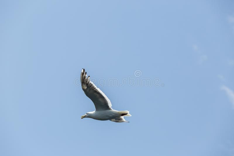 Vol de mouette de liberté dans le ciel bleu au-dessus de la mer image libre de droits
