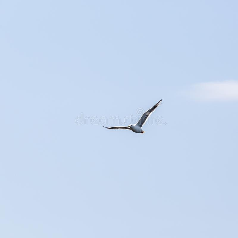 Vol de mouette de liberté de solitude dans le ciel bleu au-dessus de la mer image libre de droits