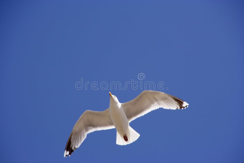Vol de mouette vers le haut photo libre de droits