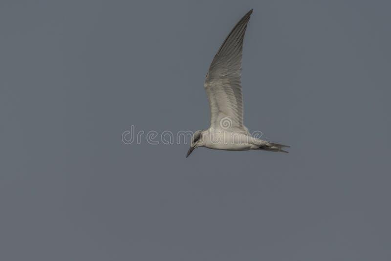 Vol de nilotica de Gelochelidon de sterne affiché par mouette photographie stock