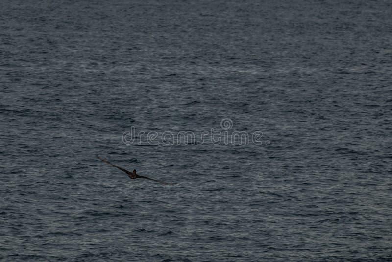 vol de pélican sur les plages du Guatemala photo stock