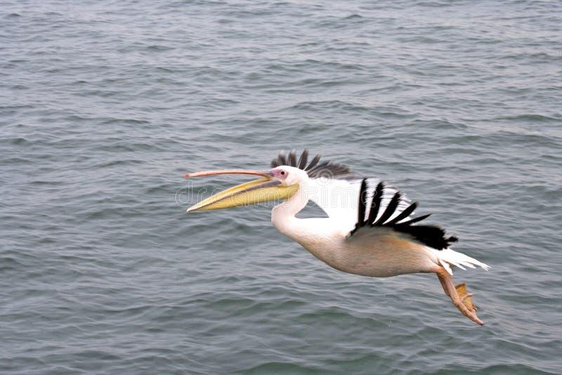 Vol de Pelikan au-dessus de l'océan images libres de droits