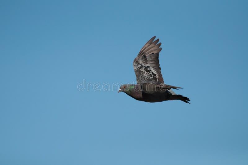 Vol de pigeon sur le ciel bleu images stock