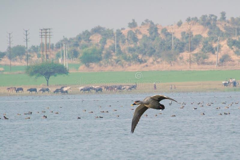 Vol de poecilorhyncha de Spotbilled Duck Anas au-dessus de lac photographie stock libre de droits