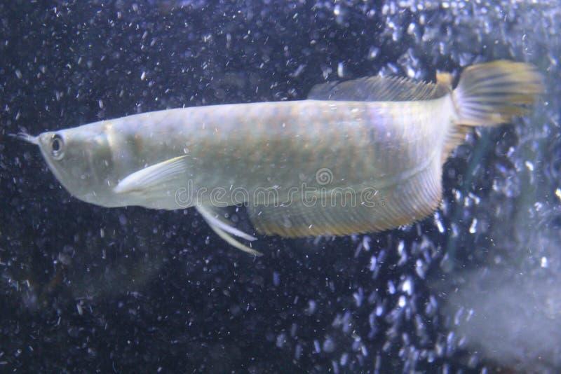 Vol de poissons d'Arowana sous la pluie photo libre de droits