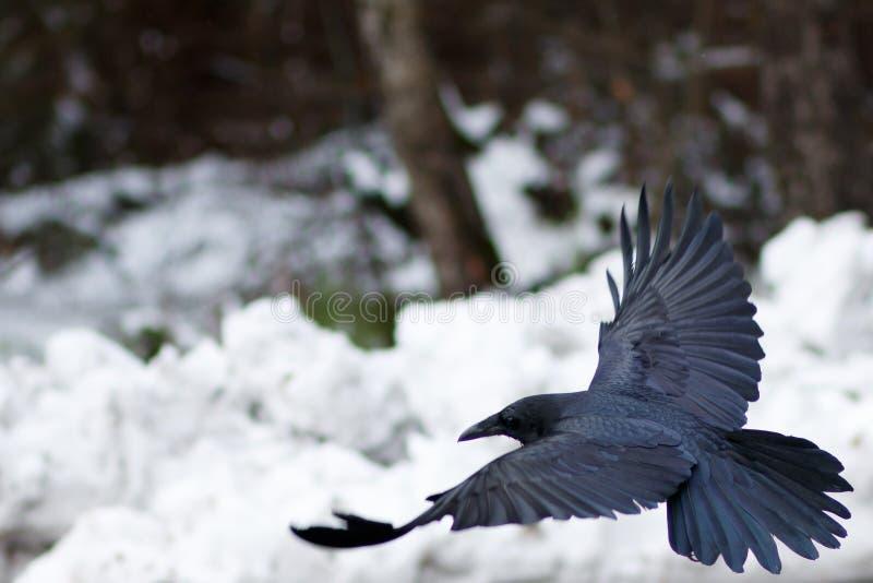 Vol de Raven au-dessus de neige image stock