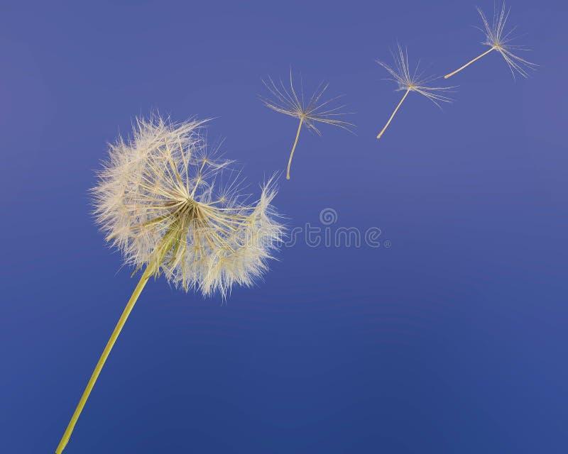 Vol de ressort de pissenlit en ciel bleu, émigration, tra images stock