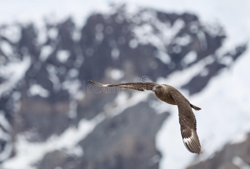 Vol de stercoraire en Antarctique image libre de droits