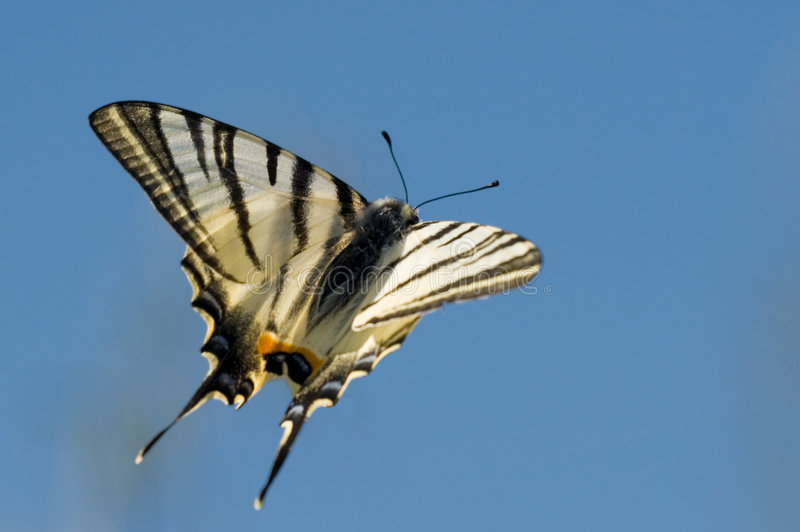 Vol de Swallowtail image stock