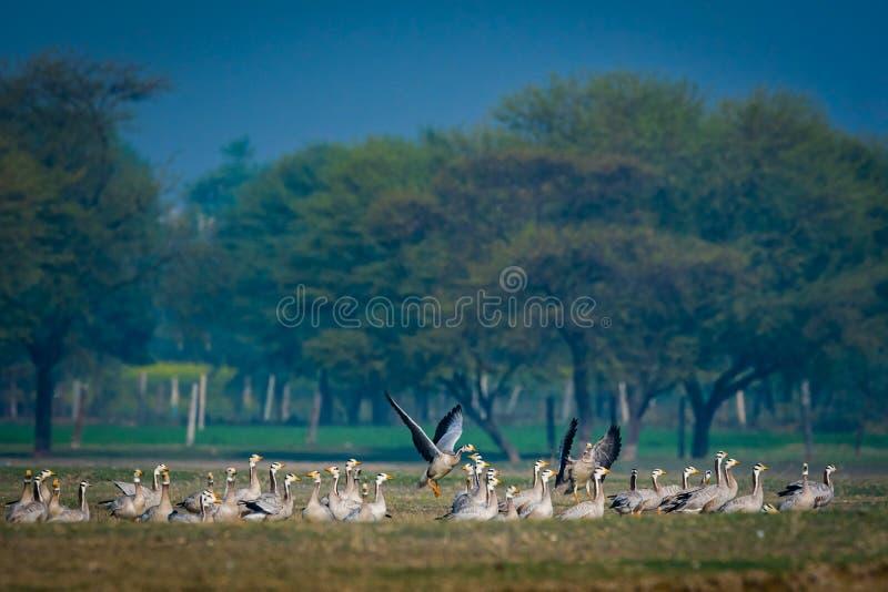vol de troupeau oie ou d'indicus à tête de barre d'Anser au bel arrière-plan bleu dans un domaine d'herbe ouvert photo libre de droits
