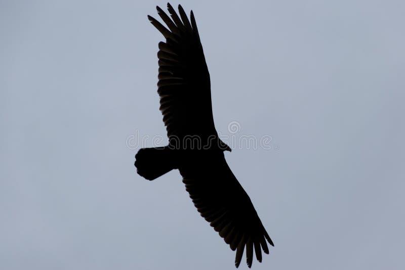 Vol de vautour dans le ciel images stock
