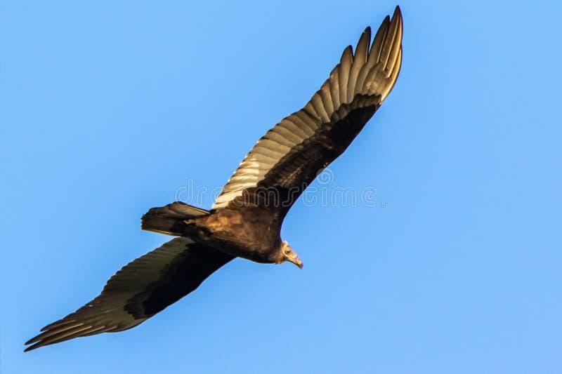 Vol de vautour de Turquie dans le ciel photographie stock