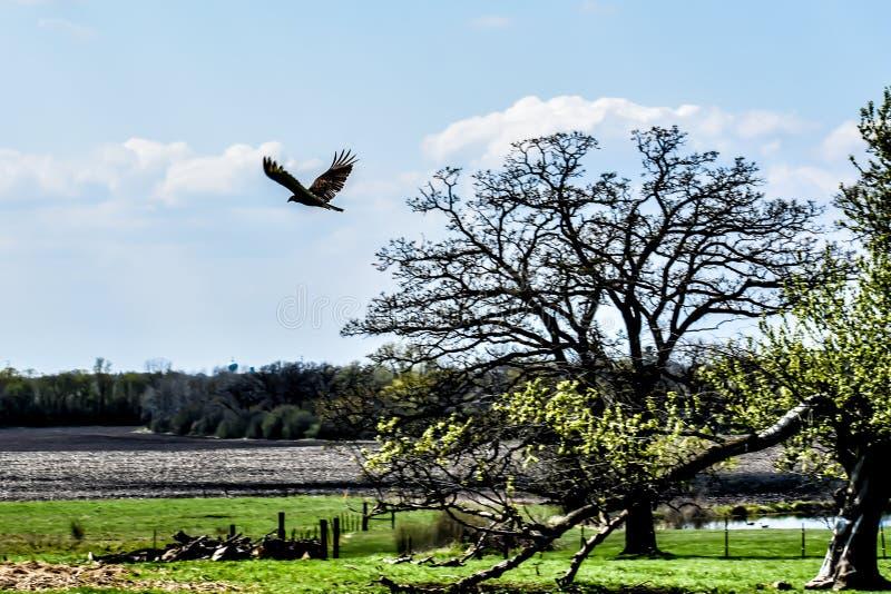 Vol de vautour de Turquie dans le ciel photo libre de droits
