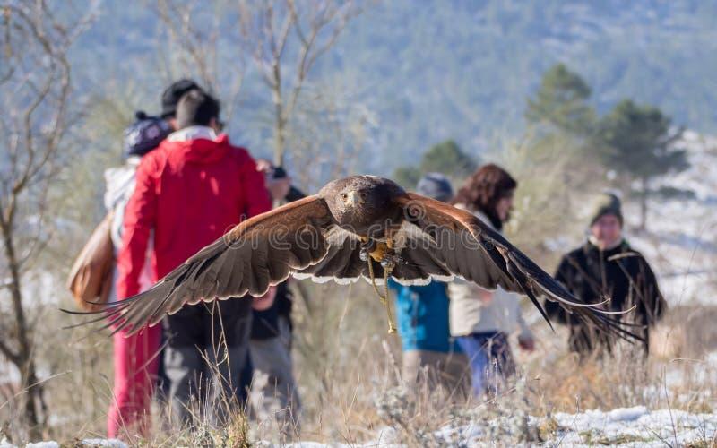 Vol du faucon de Harris dans une exposition de fauconnerie images stock