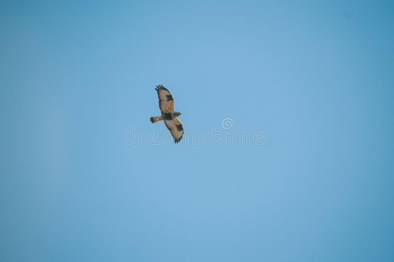 Vol Eagle Isolated Blue Sky images libres de droits