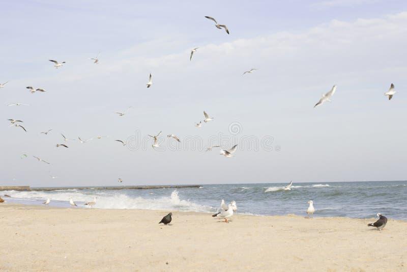 Vol et vie des mouettes sur la Mer Noire images stock